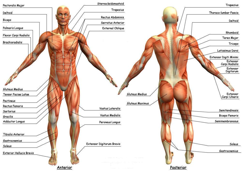 Anatomy Govinda Fitness Evolution